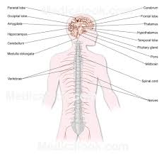 all parts of the nervous system presentation name on emaze human