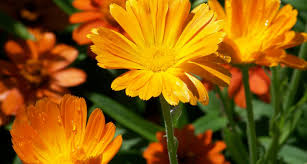 Marigolds Shade by 27 Types Of Orange Flowers Proflowers Blog