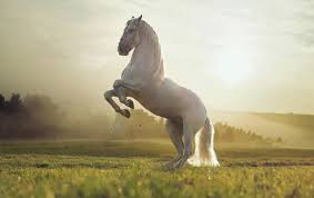 white mustang horse beautiful white horse wallpapers beautiful white horse stock photos