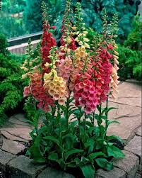 13 best hollyhocks images on pinterest flower gardening flowers