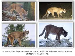 Oklahoma wild animals images Texas cryptid hunter the oklahoma quot black panther quot photo examined jpg