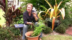 vegetable gardening growing edible ginger how to grow ginger