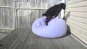 Blow Up Armchair Goat Adorably Attempts To Balance On Blow Up Chair Youtube