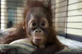 Ape Meme - happy ape meme generator imgflip