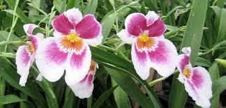 oncidium orchid easy to grow oncidium orchids triangle gardener magazine
