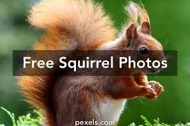 squirrel pictures pexels free stock photos