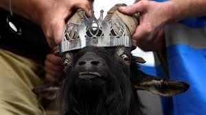 affenpinscher india world in pictures reuters tv