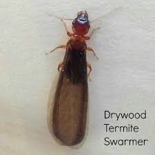 Winged Termites In Bathroom Subterranean Termite Swarmers On Rock How To Identify Household