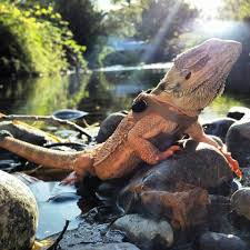 Bearded Dragon Behavior Before Shedding by The 10 Best Bearded Dragon Toys And Activities Bearded Dragon Tank