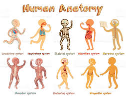 Pictures Of Human Anatomy Organs Illustration Of Human Anatomy Systems Of Organs For Kids Stock