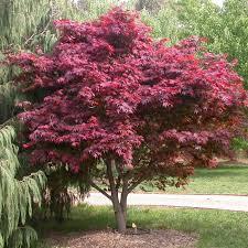 buy japanese maple trees acer palmatum in ireland shop now