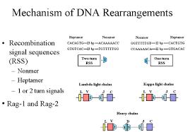 difference between kappa and lambda light chains genetics of immunoglobulins