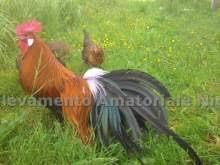 cerco animali da cortile animali da cortile animali e accessori per animali a rovigo
