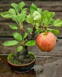best 25 bonsai apple tree ideas on bonsai fruit tree