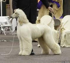 afghan hound agility manny2 jpg