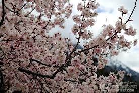 Peach Flowers Come To Appreciate Peach Blossoms In Zayul County Of Nyingchi