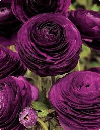 gothic garden u2026 purple ranunculus flowers horrific finds