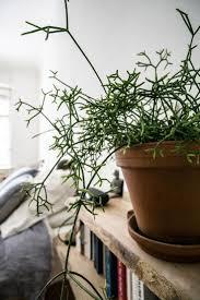 63 best indoor plants images on pinterest indoor plants plants
