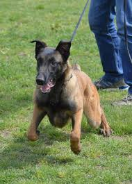 belgian shepherd youtube blue malinois male 8 months old u2013 ddr guard dogs