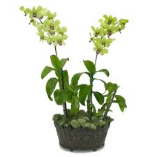 dendrobium orchids dendrobium orchid care the important points