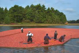 cranberry bogs search in pictures