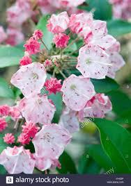 kalmia latifolia kalmia latifolia u0027 u0027ostbo red u0027 u0027 stock photo royalty free image
