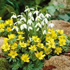 aconites and snowdrops woodland flower bulbs van meuwen