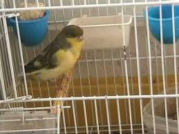 uccelli in gabbia gabbia aperta uccello vivo mpg