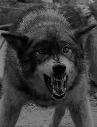 gif my gifs animals black and white wolf wildlife angry snarl