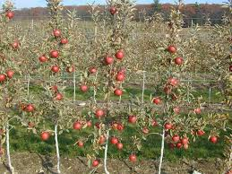 rows of red delicious apple trees in the high density orchard late