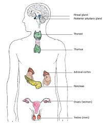 13 best body systems endocrine images on pinterest endocrine