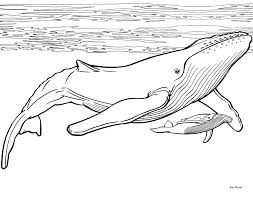 Humpback Whale Coloring Pages Eating Coloring Book Illustration Whale Color Page