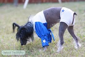 Cowboy Dog Costume Halloween Meet Cookie Chinese Crested Dog Dressed Dallas