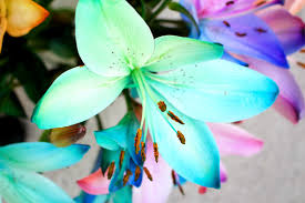 blue lilies 100 ways to 30 blossoming gifts rainbow lilies an end of