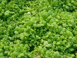 parsley growing and harvest information growing herbs
