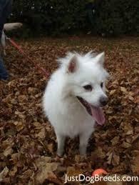 american eskimo dog houston i found gracie on american eskimo dog