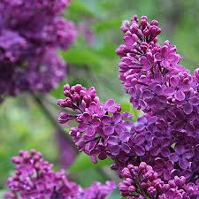 The Most Fragrant Plants - common purple lilac purple lilac growing tree and lilacs