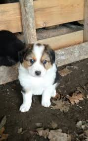 american eskimo dog lab mix border collie american eskimo mix puppy ridiculously cute