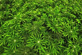 plants native to maryland the u0027immaculate conception u0027 problem maryland medical marijuana