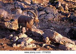 Tisch Family Zoological Gardens - a nubian ibex in the tisch family zoological gardens popularly