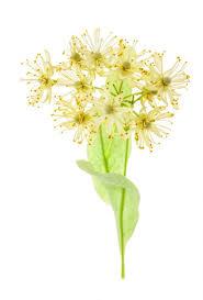 linden flower linden blossom absolute tilia odorata