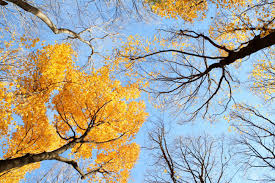 looking up through fall trees to a clear blue sky stock photo