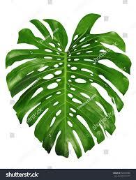 Tropical Design Monstera Large Green Jungle Leaf Unique Stock Photo 526641988