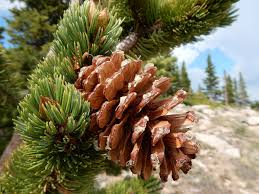 Decorative Pine Trees 40 Pine Trees From Around The World