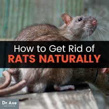 Rodent Meme - how to get rid of rats naturally dangers of rat poison dr axe