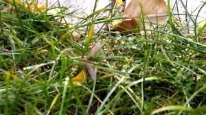 european cranefly nutri lawn youtube