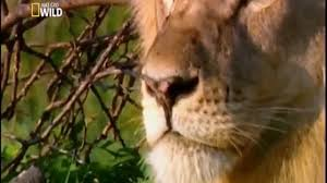 national geographic documentary wild animals attack national