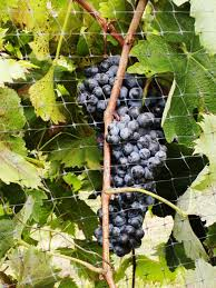 want to make wine now is the time to plant grapevines news