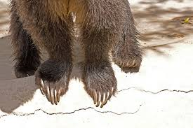 grizzly claws grizzly and claws stock photo image of daylight