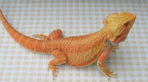 bearded dragon diet habitat pictures facts care